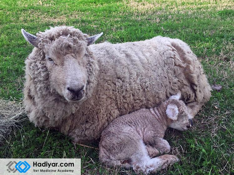 تب شیر در گوسفند