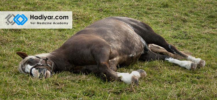 دراز کشیدن و خوابیدن اسب