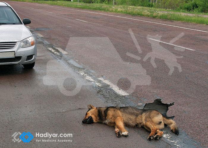 اقدامات اولیه در هنگام تصادف حیوان با خودرو