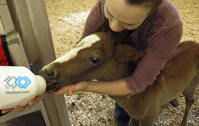 شیر دادن به کره اسب