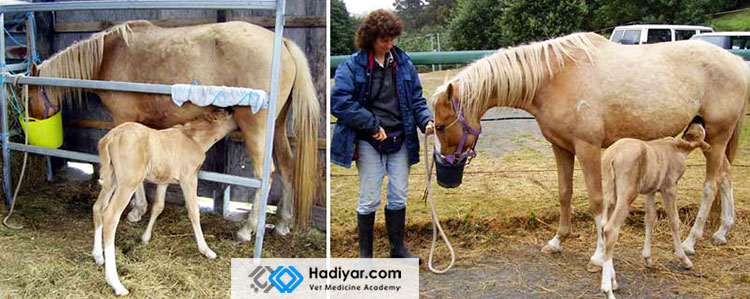 تغذیه کره اسب